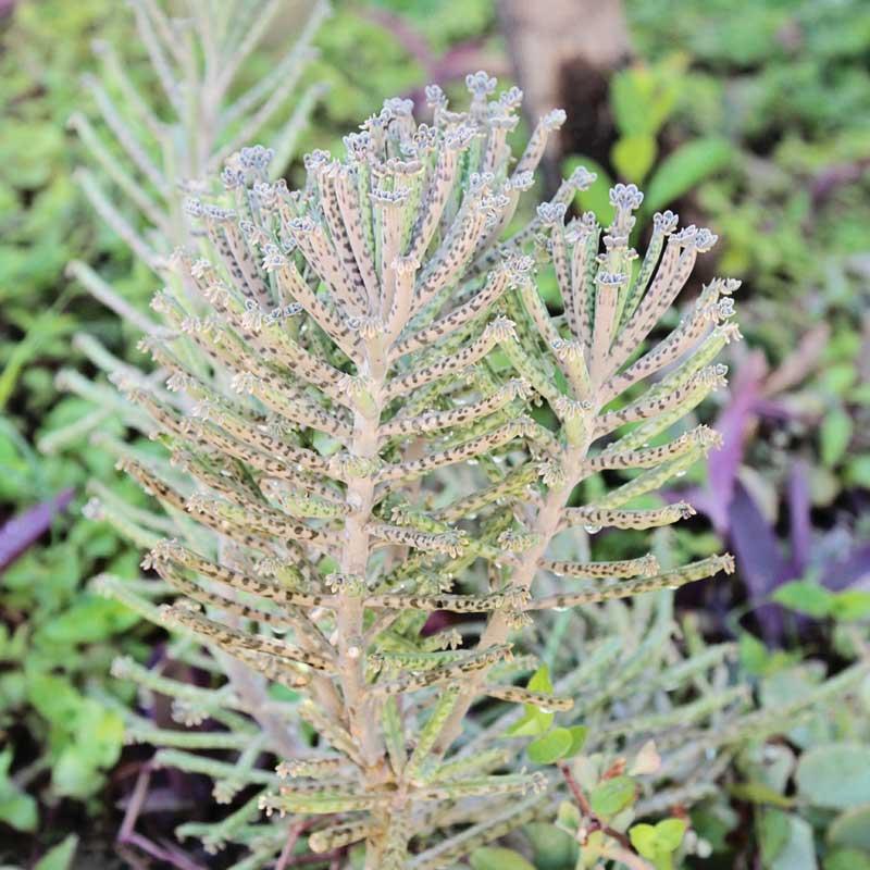 flora of santorini gardens