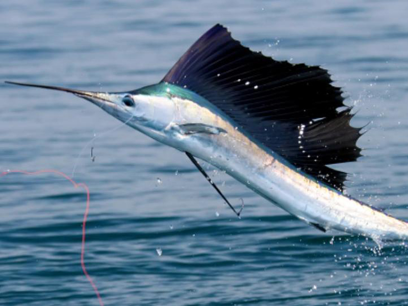 sailfish catch and release mozambique