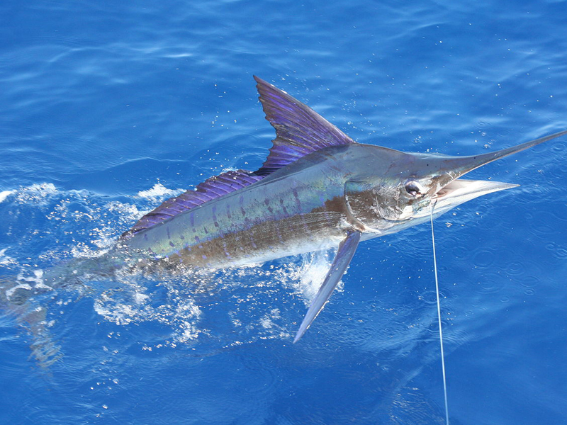marlin season in bazaruto archipelago